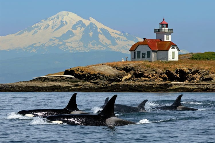 Orcas surfacing off of Orcas Island