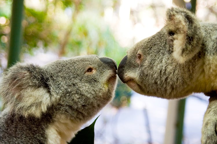 Animal Lovers Honeymoon - Kissing Lone Pine Koalas