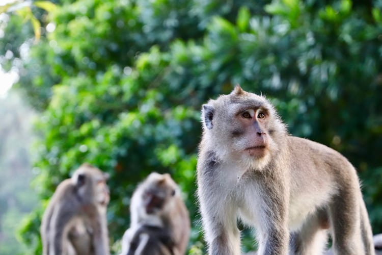 Animal Lovers Honeymoon - Monkeys in Indonesia